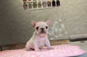 ID:FB835 French Bulldog