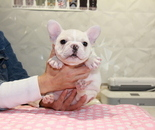 ID:FB831 French Bulldogのイメージ