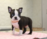 ID:BT235 Boston Terrier のイメージ