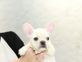ID:FB948 French Bulldog