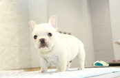 ID:FB959 French Bulldog