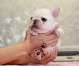 ID:FB835 French Bulldogのイメージ