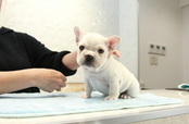 ID:FB952 French Bulldog