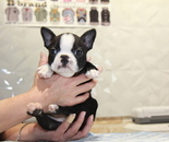 ID:BT236 Boston Terrier のイメージ