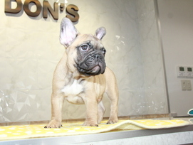 ID:FB960 French Bulldog 販売中!