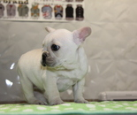 ID:FB821 French Bulldog のイメージ