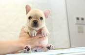 ID:FB965 French Bulldog
