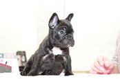 ID:FB966 French Bulldog