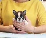 ID:BT238 Boston Terrier のイメージ