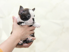 ID:BT275 Boston Terrier 販売中!!