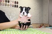 ID:BT239 Boston Terrier