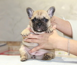 ID:FB843 French Bulldogのイメージ
