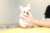 ID:FB955 French Bulldog