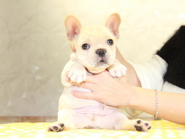 ID:FB958 French Bulldog 販売中!!