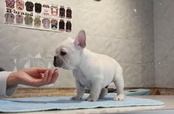 ID:FB848 French Bulldog 販売中!