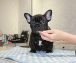 ID:FB851 French Bulldog のイメージ