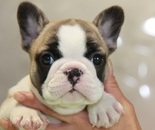 ID:FB856 French Bulldogのイメージ