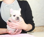 ID:FB845 French Bulldogのイメージ