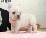 ID:FB846 French Bulldogのイメージ