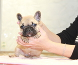ID:FB847 French Bulldogのイメージ