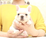 ID:FB860 French Bulldog のイメージ