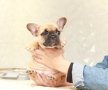 ID:FB863 French Bulldogのイメージ