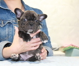 ID:FB852 French Bulldogのイメージ
