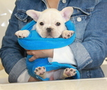 ID:FB849 French Bulldog のイメージ