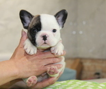 ID:FB855 French Bulldogのイメージ