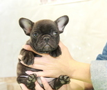 ID:FB869 French Bulldogのイメージ