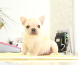 ID:FB870 French Bulldogのイメージ