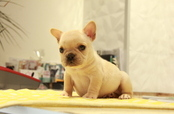 ID:FB870 French Bulldog