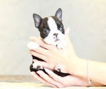 ID:BT250 Boston Terrier のイメージ