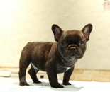 ID:FB872 French Bulldogのイメージ