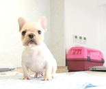 ID:FB873 French Bulldogのイメージ