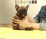 ID:FB874 French Bulldogのイメージ