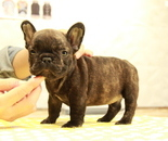 ID:FB875 French Bulldogのイメージ