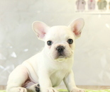 ID:FB866 French Bulldog のイメージ