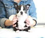 ID:BT246 Boston Terrierのイメージ