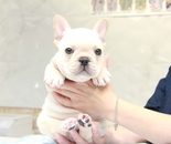 ID:FB879 French Bulldogのイメージ