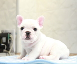 ID:FB885 French Bulldogのイメージ