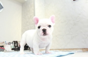 ID:FB885 French Bulldog