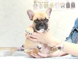 ID:FB886 French Bulldogのイメージ