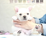 ID:FB887 French Bulldogのイメージ