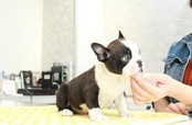 ID:BT251 Boston Terrier
