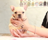 ID:FB891 French Bulldogのイメージ