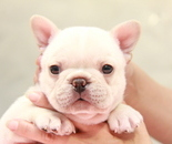 ID:FB880 French Bulldogのイメージ
