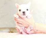 ID:FB881 French Bulldogのイメージ