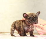 ID:FB882 French Bulldogのイメージ