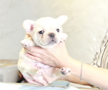ID:FB884 French Bulldogのイメージ